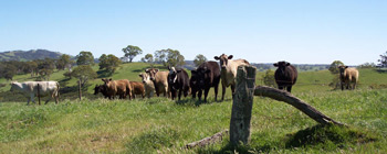 Cows in the paddock - Jim Clinton