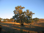 Old Gum Tree at Sunset - R Ramsden